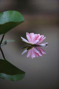 水鏡睡蓮花