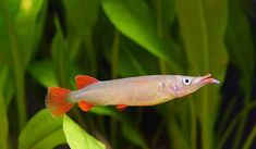 Nomorhamphus eberardtii . Another asian live-bearing halfbeak. This is a female (note the fan-shaped anal fin).