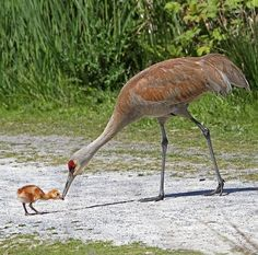 Sandhill Crane and Chick (Peggy Collins)
