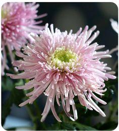 Federchrysantheme   Arthurs Tochter Kocht von Astrid Paul