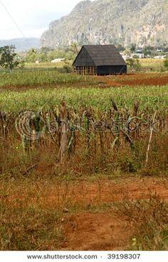 Tobacco drying barn, Vinales