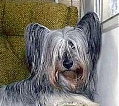 The Skye Terrier is among one of the oldest terriers known today. In the early 1600s a Spanish ship wrecked off the island of Skye in the Scottish Hebrides. The ship had Maltese dogs onboard that survived and mated with the local terriers, resulting in the Skye Terrier breed. The dogs were used to hunt down vermin, fox and badger that would prey on the farmer's livestock. In the 19th century Queen Victoria took a liking to the breed and the Skye Terrier became very popular for a while,