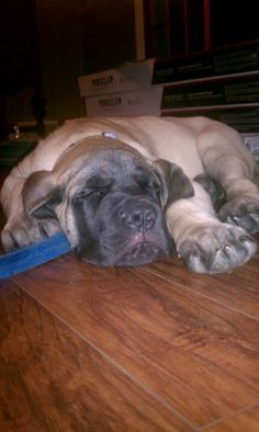 BIGGS...12 weeks, 42 pound American mastiff. I remembered when Theo would play and crash like this at this age <3<3