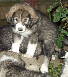 Carpathian Sheepdog Dog Breed Information and Pictures Puppy Pictures, Dog Photos, Big Dogs, Dogs And Puppies, Battle Bears, Sheep Dog Puppy, Cute Cats, Adorable Dogs, Doge