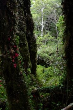 Mossy trees. Bosque Encantado (Enchanted Forest). Chile