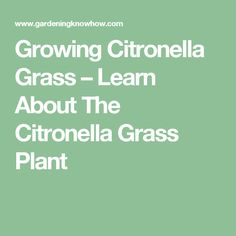 Growing Citronella Grass – Learn About The Citronella Grass Plant