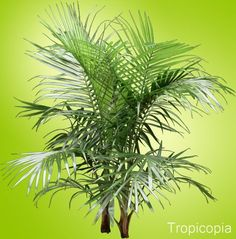 LIGHT: high light always. WATER: consistently moist but not soggy. yellow leaves = too much water. brown leaves = not enough water. SOIL: rich that drains well. FERT: every 2 weeks at dose. Palm Plant Care, Palm Tree Care, Palm Tree Plant, House Plant Care, Indoor Palm Trees, Indoor Palms, Palm House Plants, Palm Plants, Plants Indoor