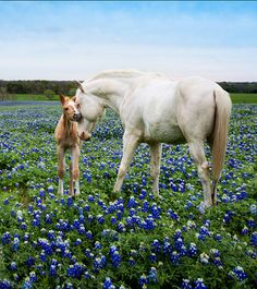 Mare and foal in a field of bluebonnets