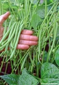 Growing Vegetables Some helpful tips for growing Green Beans - Here are the 5 best container vegetables for beginning gardeners, plus container gardening tips and tricks for a great harvest. Growing Green Beans, Growing Greens, Growing Veggies, Growing Plants, Planting Green Beans, Growing Roses, Growing Tomatoes, Veg Garden, Edible Garden
