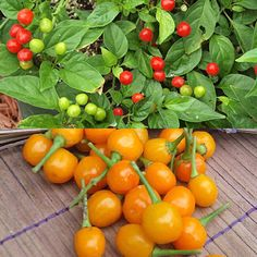 "Quintisho Hot Peppers (Yellow & Red). 5,000 - 30,000 Scoville Units. Capsicum Chinense. An unusual pepper from Bolivia, these 3/4"" round hot peppers grow on small, tight shrubs that produce fruits that resemble a tiny cherry tomato"