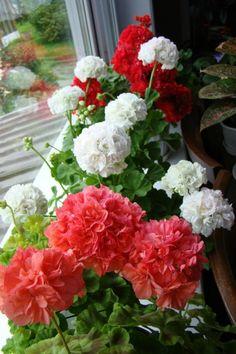 Это часть моей души-2 (Татьяна) - Форум Клуба любителей пеларгоний House Plants, Flower Garden, Flowers Gif, Pretty Flowers, Geranium Plant, Garden Arches, Beautiful Flowers, Geraniums, Love Flowers