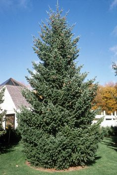 The Douglas Fir is a popular and versatile evergreen tree. Nature Hills Nursery offers the hardiest Douglas Fir trees with a price match guarantee. Choose from the largest variety you won't find anywhere else at Nature Hills. Evergreen Landscape, Evergreen Trees, Winter Landscape, Landscaping Plants, Garden Plants, Douglas Fir Tree, Trees Top View, Tree Shapes, Tree Tops