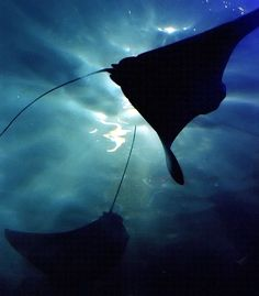 "New Orleans – Aquarium ""Stingrays in Silhouette"" - Stingray Fish Crow Silhouette, Running Silhouette, Sunset Silhouette, Majestic Sea Flap Flap, Silhouette Fotografie, Stingray Fish, Undersea World, Silhouette Photography, Blue Nails"