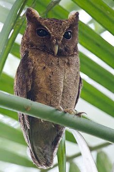 Y.IPDeer™ Collared Scops Owl (Otus lempiji); (Photo by Francis Yap)