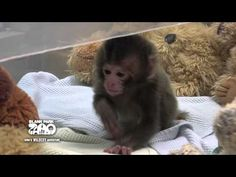 Baby Japanese Macaque at Blank Park Zoo. Des Moines, Iowa. Born April 20, 2012. I am so in love with her, and wish I could just bring her home to live with me. So, precious.