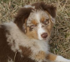 Super cute Australian Shepherd puppy, red merle (Halo, Say No More of Imagineer RNX, CGC) Cute Puppies, Dogs And Puppies, Doggies, Red Merle Australian Shepherd, Puppy Stages, Working Dogs, Four Legged, Puppy Love, Corgi