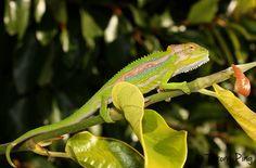 Bradypodion pumilum - Cape Dwarf Chameleon