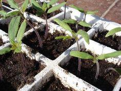 Les 7 erreurs qui font rater vos semis de tomates