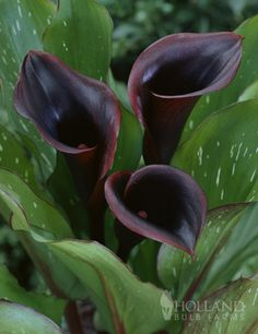 The funnel shaped dark burgandy purple to black colored flowers really stand out within the medium green leaves with white spots.  Great for cutflower displays, wedding bouquets, pots and containers.