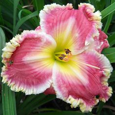Day-lily: Hemerocallis 'Judy's Jewel' [Family: Xanthorrhoeaceae]