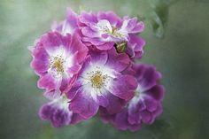 Rosa Greetings - null