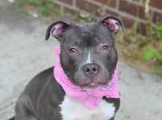 TO BE DESTROYED 8/6/14 Brooklyn Center  My name is EVE. My Animal ID # is A1008935. I am a female gray and white pit bull mix. The shelter thinks I am about 1 YEAR  I came in the shelter as a STRAY on 08/01/2014 from NY 11229, owner surrender reason stated was STRAY.  https://www.facebook.com/Urgentdeathrowdogs/photos/a.611290788883804.1073741851.152876678058553/849378045075076/?type=1