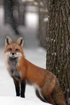 Most excellent fox