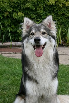 Utonagan, mix between Alaskan Malamutes, Siberian Huskies, and German Shepherds