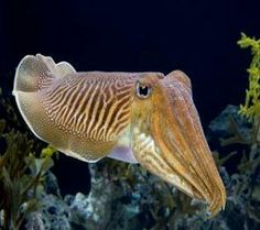 Cuttlefish - I'm sorry but these guys are just cute in a sorta alien kind of way.
