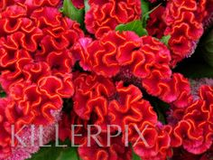 Red coxcomb: July through September  $$