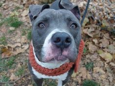 TO BE DESTROYED - 11/16/14 Manhattan Center -P My name is KING KONG. My Animal ID # is A1019533. I am a male gray and white pit bull mix. The shelter thinks I am about 3 YEARS old. I came in the shelter as a STRAY on 11/03/2014 from NY 11216, owner surrender reason stated was STRAY. For more information on adopting from the NYC AC&C, or to find a rescue to assist, please read the following: http://urgentpetsondeathrow.org/must-read/