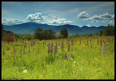 New Hampshire Lupine festival | ... Most interesting photos from Sugar Hill, New Hampshire, United States