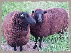 Raising Black Welsh Sheep