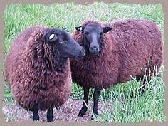 Raising Black Welsh Sheep