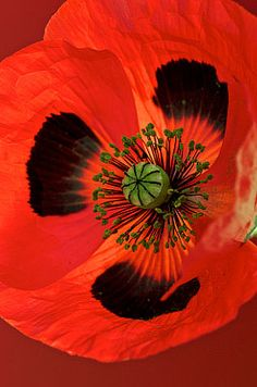 ✯ Beautiful Bloomers - Ladybird Poppy