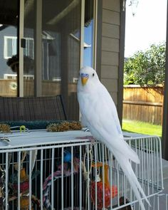 Jean's gorgeous white budgie is eight years old. How old are your parakeets? #parakeets #budgie #parakeet #budgies #budgiephotos #budgerigar #parakeetlover #parakeetlovers #parakeetlove #budgielover #budgielovers #budgielove #wellensittich #muhabbetkusu