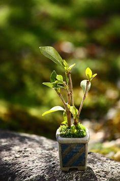 Mame bonsai... Indoor Bonsai, Indoor Garden, Terraria Tips, Bonsai Garden, Bonsai Trees, Mame Bonsai, Minis, Miniature Plants, Little Plants