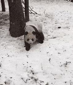 Panda being dramatic
