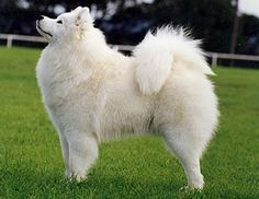 A Samoyed's tail does not wag so much as it flutters ❤