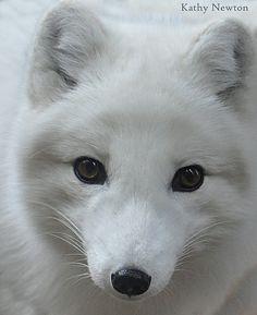 Cuteness in the Cold - Arctic Fox