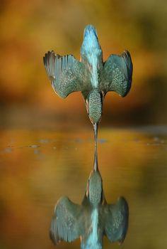 Tras 6 años y 720.000 intentos, un fotógrafo hace la foto perfecta de un martín pescador