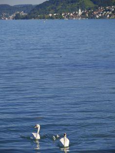 Schwäne auf dem Bodensee vor Sipplingen