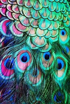 Peacock feathers #colorful