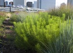 Amsonia hubrichtii -- Needle-like foliage has stunning fall color. Best planted in groups of 5-25. White-tinged winter stems; Good in containers.