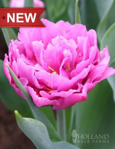 We adore this Wedding Gift Double Pink Tulip! This chic tulip will bloom early in spring, with large peony shaped flamboyant pink blooms that you won't want to miss out on in your garden.