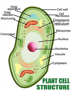 Plant Cell Structure-Plant cell diagram and structure ideas Cell Model Project, Animal Cell Project, Plant Cell Structure, Structure And Function, 3d Plant Cell Model, Plant Cell Parts, Membrane Structure, Plant Cell Diagram, 3d Cell