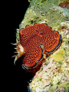 Charlotta's Nudibranch Sea Slug