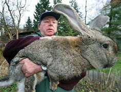 Grappling with a monster. One of these rabbits can easily feed eight people.