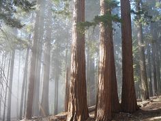 Sequoias Lit Up by jabbapablo, via Flickr