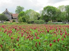 Crimson Clover is in one of the plots in the Single Brothers' Garden.